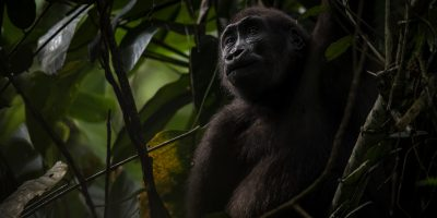 Young Western Lowland Gorilla (gorilla gorilla gorilla) sitting high up in a tree.  Location: Odzala National Park in Congo Basin, Republic of Congo, Africa. Shot in wildlife.